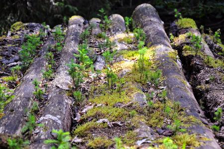 over grown: Fir grown over dead trees Stock Photo