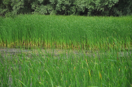 delta: Fields of cane in Danube Delta