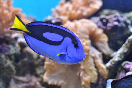 hepatus: Blue fish in the aquarium Stock Photo