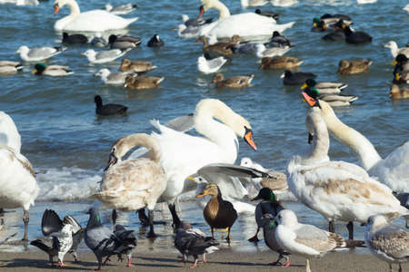 rideau canal: white swans,brown and black ducks and grey pigeons on the sea shore