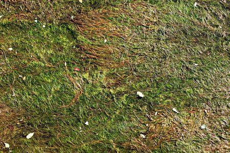 algas verdes: Fondo de algas verdes