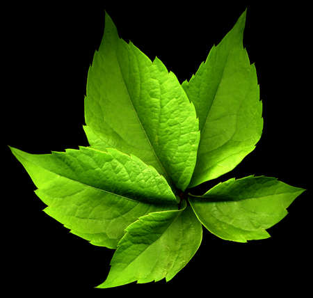 a green virignia creeper leaf with altered color and black background Reklamní fotografie - 83885548