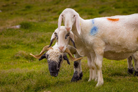 two sheep and a ram posed for a picture