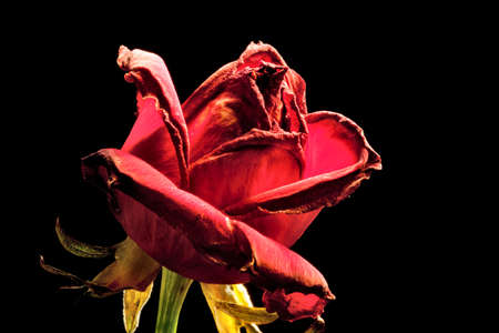 red withered rose on a black background Stock Photo