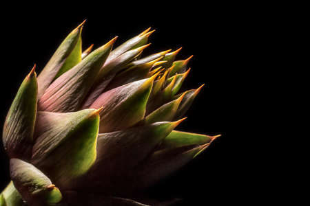 Artichoke flower with thorns on black background