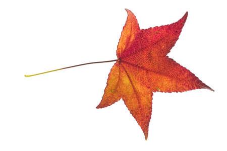 decay of a leaf of liquidambar styraciflua