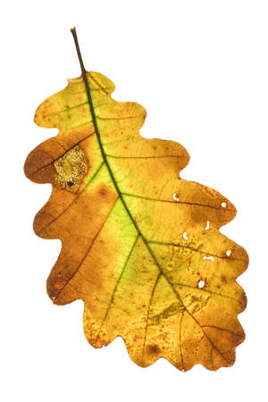 A decayed oak leaf in autumn on white background Stock Photo