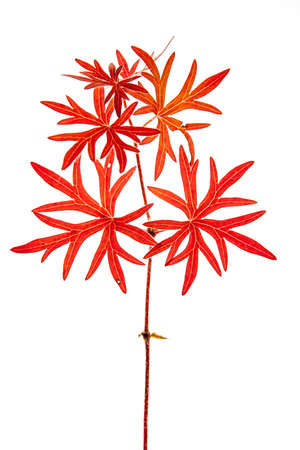 decay of a red leaf in autumn on white background Imagens