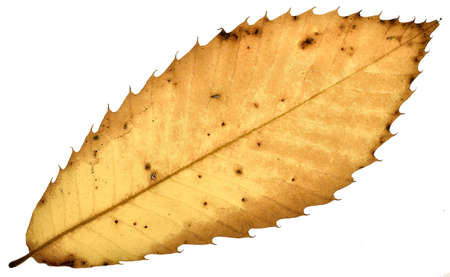 A decayed chestnut leaf on white background
