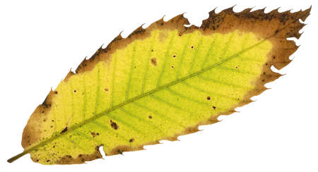 decay of a chestnut leaf on white background