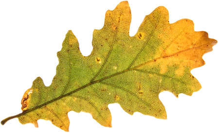 decay of oak leaf in autumn on white background Stock Photo