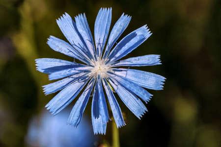 ぼやけた背景を持つ Cichorium intybus の花 写真素材