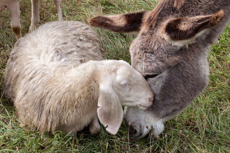 a donkey and a sheep having cuddle on a meadow