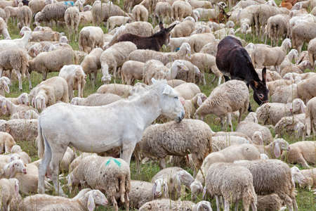 a flock of sheep and donkeys rest on a meadow during transhumance 版權商用圖片