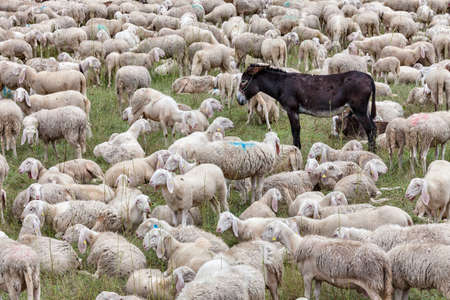 a flock of sheep and a donkey rest on a meadow during transhumance