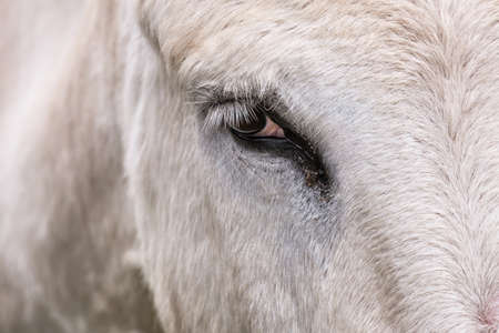 eye of a white donkey with long lashes 版權商用圖片 - 85980777