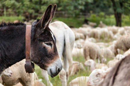 head of a brown donkey with his cowbell in the background of a flock of sheep 版權商用圖片