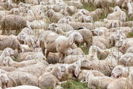 a flock of sheep rest on a meadow during transhumance