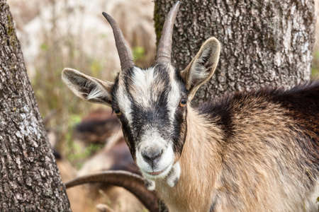 a goat in the trees looks carefully and curious 版權商用圖片