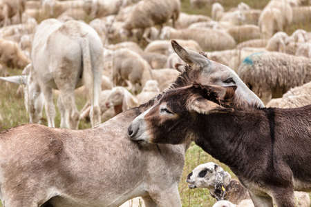 two donkeys having cuddle on a meadow in the midst of a flock of sheep 版權商用圖片