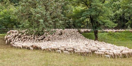 flock of sheep and goats during transhumance 版權商用圖片