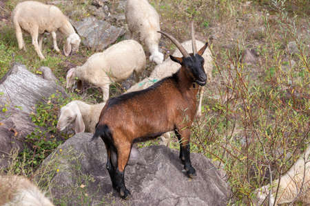 a brown goat on the stone in the flock of sheep 版權商用圖片