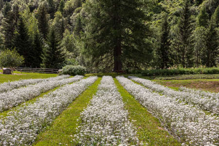 cultivation of edelweiss flowers in a botanical garden in mountain