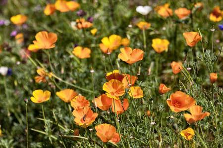 bee sucks orange poppy nectar in a botanical garden