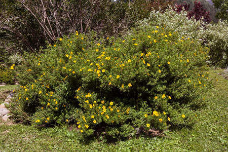 bush of potentilla in a botanical garden with yellow flowers