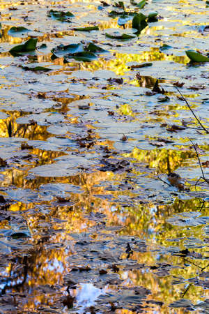 Autumn reflections on the water of a pond with water lily leaves