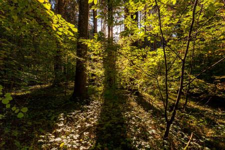autumn magic light in a forest in silhouette 版權商用圖片