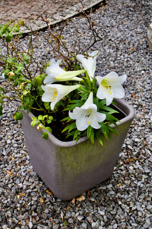 Big white flowers in grey pot garden natural concept near stones big white flowers in grey pot garden natural concept near stones stock photo mightylinksfo
