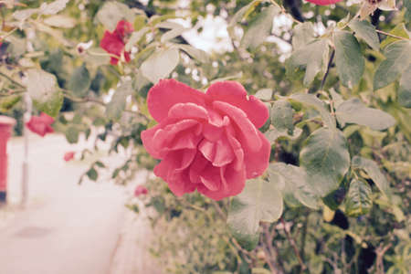 Red rose near green leafs. Green natural photography.