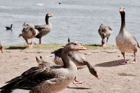 Wild beautiful ducks on the lake in Milton Keynes. Natural outdoor park.