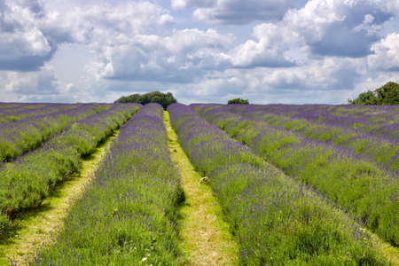 Beautiful lavender fields in England. Outdoor floral concept.