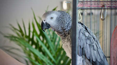 Beautiful african grey parrot at home. Stock Photo