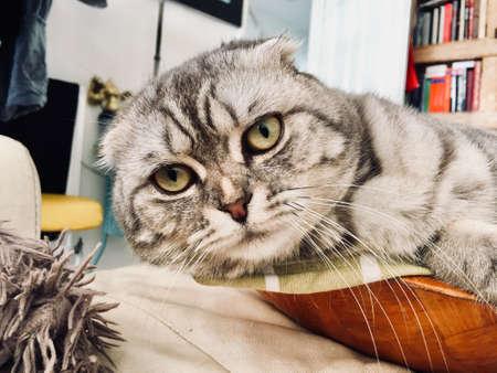 Big grey scottish fold cat. Home pet concept. Stock Photo