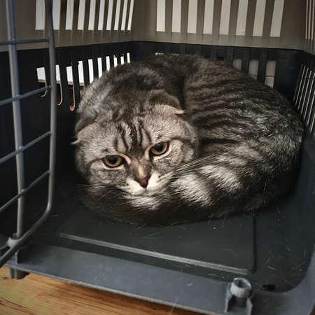 Big grey scottish fold cat. Home pet concept. Cat in transport cage.