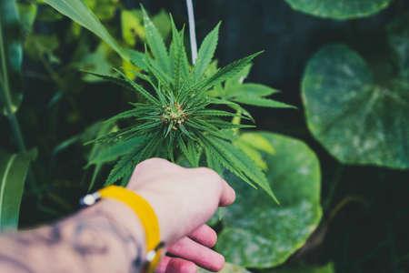 Marijuana wild plant in the garden. Outdoor growing. Natural CBD.