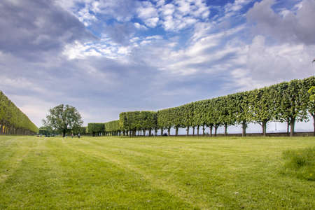 hornbeam: French palised trees on lawn in Bellevue, France