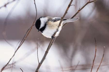 Black-capped Chickadee (Black-capped Chickadee - Poecile atricapillus) in Quebec winter
