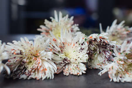 Beautiful bouquet of chrysanthemum Anastasia dyed. Flower delivery