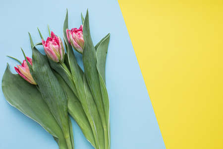 Beautiful pink tulips on multicolored paper backgrounds with copy space. Spring, summer, flowers, color concept, womens day