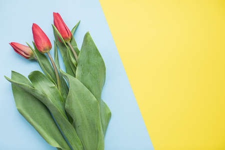 Beautiful red tulips on multicolored paper backgrounds with copy space. Spring, summer, flowers, color concept, women's day.