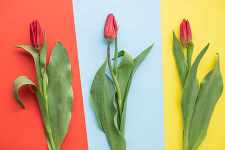 美丽的红色郁金香在多色纸背景与复制空间。32、春,夏,花,色概念,妇女节。