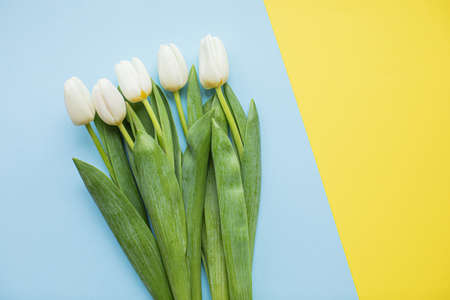 Beautiful white tulips on multicolored paper backgrounds with copy space. Spring, summer, flowers, color concept, womens day