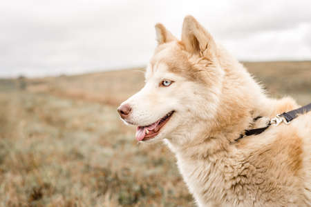 A cute, fluffy, red and brown husky malamute mix breed dog with beautiful blue eyes looks away from the camera