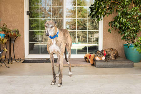 Two rescued Greyhounds (former blood dogs) in their adoptive home
