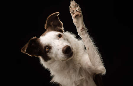 Beautiful Border Collie against a black background looks at the camera and waves