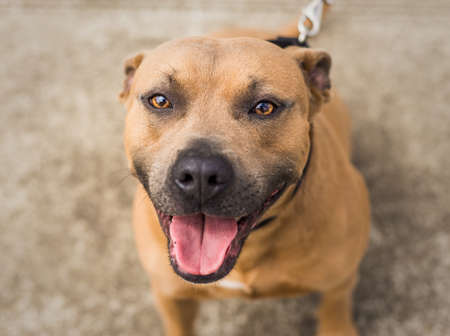 A beautiful brown and blue / grey Pit Bull shelter dog Banque d'images